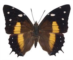 Baeotus (Megistanis) deucalion, Brush-Footed Butterfly