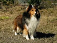 I have a wonderful, loving Sheltie named Tanner.  He is the BEST!
