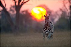 Zebra sunset in South Africa