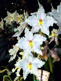 Caring for Odontoglossum Orchids.jpg