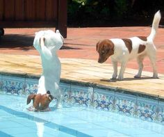 Bet ya can't do this! Love Jack Russells - the most amazingly spirited dogs. Have had three so far in my life; Tito, Topsy and Daisy. Daisy in particular was so loving. RIP little ones, you are still loved.