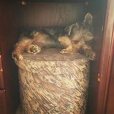 。 家が静かなときは、だいたいここで寝ている。 鏡台の下の椅子の上… 死んだアトムがよく寝ていたとこ。 好きな場所とか行動がアトムに似ている。 生まれ変わりか?笑 ・ ・ #犬 #愛犬 #dog #doggy #mydog #ヨークシャーテリア #ヨーキー #Yorkshire #YorkshireTerrier #Yorkie #犬バカ部 #pecoいぬ部 #instadog #dogstagram #doglover #lovedogs #ilovemydog