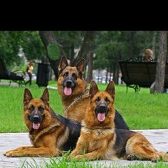 Beautiful pack of German Shepherds #germanshepherd - what a stunning photo!