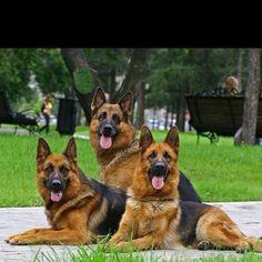 Beautiful pack of German Shepherds #germanshepherd - what a stunning photo!