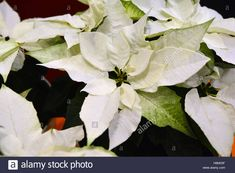 Download this stock image: Euphorbia (Poinsettia) Princettia® Pure White - H8M33F from Alamy's library of millions of high resolution stock photos, illustrations and vectors.