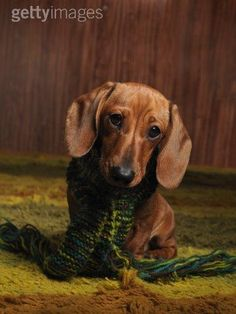There is nothing in this world that's cuter than a dachshund.