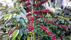THE ORIGIN OF THE COFFEE CULTURE IN ACEH   Tengkuputeh