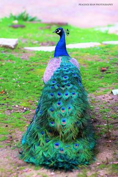 Peacock Painting, Peacock Art, Animal Pictures, Cute Pictures, Animals And Pets, Cute Animals, Peacock Pictures, Exotic Birds, Bird Feathers