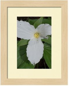 #fineart #photography is the perfect #home or #office #decor  http://fineartamerica.com/products/trillium-2-kelly-paal-framed-print.html