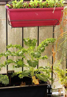 Faire pousser du chou kale dans un potager sur balcon avec Noocity - Mon Petit Balcon Le Chou Kale, Parsley, Cabbage, Planters, Cooking Kale, Plant Cuttings, Sprouts, Green, Cabbages
