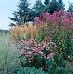 A favorite late season combo in my garden: Tall Eupatorium fistulosum 'Selection. - A favorite late season combo in my garden: Tall Eupatorium fistulosum 'Selection' (Joe Pye weed - Public Garden Design, Outdoor Gardens, Beautiful Gardens, Garden Design, Prairie Garden, Grasses Landscaping, Cottage Garden, Plants, Backyard Landscaping