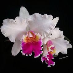 "1,144 Likes, 64 Comments - Mizue Tateishi (@mizuetat) on Instagram: ""Cattleya híbrido  #orquideas#orquidea #orchid#orchidee#meucultivo #ponyfony_flowers #ptk_flowers…"""