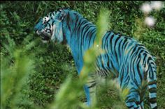 Image detail for -Maltese Tiger - Chat Big Cats and Other Animals Too Photo - Your . Majestic Animals, Rare Animals, Animals And Pets, Wild Animals, Unique Animals, Maltese Tiger, Maltese Dogs, Baby Maltese, Beautiful Cats