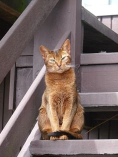 """""""You cannot solve a problem from the same level of consciousness that created the problem"""" ~~ Albert Einstein Photo of Sorrel my friend Celia's Abyssinian cat in Christchurch"""