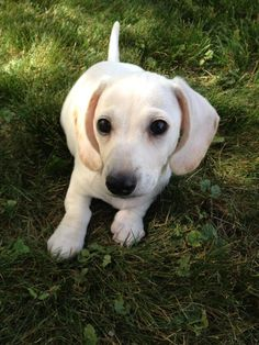 White Dachshund Puppy