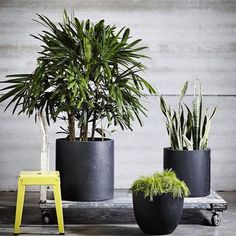 Had to #Regram this photo featuring our Rhapis palm, Sanseveria & Acacia limelight in @thebalconygarden range of pots. Pots are also available from @exotic_nurseries #featureplants #potplants #pots #design #plants #landscapedesign #balconypots #alfresco #courtyard #inspiration #styling #exoticnurseries