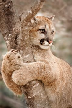 beautiful-wildlife: Hold On by Laurie Hernandez A young Cougar climbs a tree in Minnesota