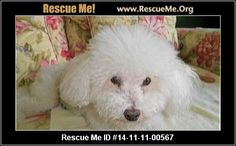 -00567Quinn (male)  Bichon Frise  Age: Adult  Compatibility:Good with Most Dogs, Good with Kids and Adults Personality:Average Energy, Somewhat Dominant Health:Vaccinations Current, Hip Dysplasia  Quinn is 9 yrs old. A very loving boy who revels in attention....loves to be in your lap and travel with you. He is crate trained and house broken but has had some peeing issues in the house. One could use the 'indoor invisible fence' to keep him within boundaries you decide on or in…