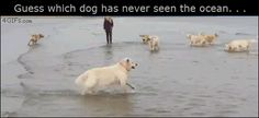 Funny Gif--Guess which dog has never seen the ocean.This dog leaping into the ocean just makes me smile! Cute Funny Animals, Funny Animal Pictures, Funny Cute, Funny Dogs, Hilarious, Cute Puppies, Cute Dogs, Mundo Animal, Dog Memes