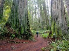 The trees are massive on Boy Scout Tree Trail in northwest California's Jedediah Smith Redwoods State Park.