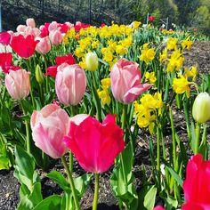 April 14, Tulips, Bloom, Seasons, Spring, Plants, Seasons Of The Year, Plant, Tulip