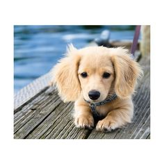 Golden dox. so cute! This is what mom And dad need!! Dad loved goldens and mom wants a small dog!!!
