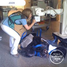 Here a SeaWorld veterinarian is taking x-rays to monitor this rescued endangered leatherback sea turtle. #365DaysOfRescue