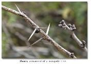 Mesquite thorns are straight and sharp. Mesquite Tree, The Settlers, Diy Projects To Try, How To Look Better, Hair Accessories, History, Cooking, Recipes, Kitchen
