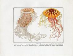 C1900 Ernst Haeckel Marine Sea Jellyfish Medusa Antique Litho Print w Bolsche