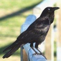 Australian Raven - Photographers: K Vang and W Dabrowka © Bird Explorers Crow
