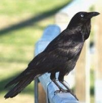 Australian Raven - Photographers: K Vang and W Dabrowka © Bird Explorers    Australia native Corvus species:    Australian Raven Little Raven     Forest Raven Torresian Crow    Little Crow Those with white bases to the hackle feathers are classified 'crows' while those with gray ones are 'ravens'  In Melbourne and Adelaide your local 'crows' are Little Ravens. In Perth, Canberra & Sydney  Australian Ravens. In Hobart, Forest ravens, & in Brisbane & Darwin Torresian Crows