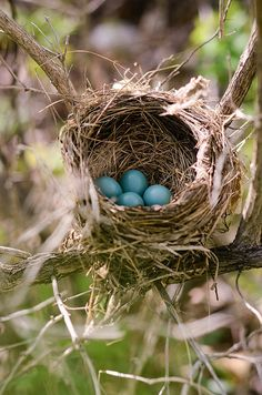 Spring ~ new eggs! An amazing bird's nest which holds four robin's egg's blue bird eggs! Nester, Tier Fotos, Hello Spring, Bird Feathers, Beautiful Birds, Spring Time, Spring Months, Pet Birds, Bunt