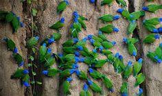 Blue-headed Parrot, (Pionus menstruus), a common visitor to clay licks on river banks throughout South and Central America. They eat the clay to detoxify some of the seeds in their diets. Pretty Birds, Love Birds, Beautiful Birds, Animals Beautiful, Beautiful Places, Beautiful Artwork, Tier Fotos, Budgies, Parrots
