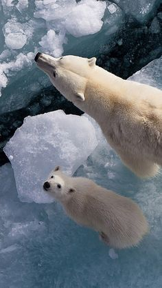 polar_bears_ice_snow_antarctica