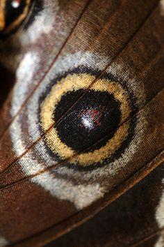 Butterfly wing - morpho peleides