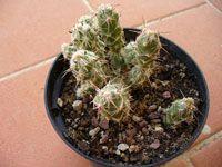 Corynopuntia bulbispina