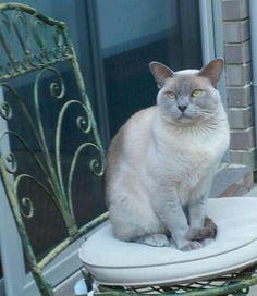 Harvey the lilac burmese cat Cute Cats And Kittens, Kittens Cutest, Burmilla Cat, All Cat Breeds, Tonkinese Cat, Cat Biting, Himalayan Cat, Outdoor Cats, Cat Sleeping