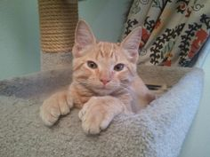 Meet our new kitten named Kevin.  He's a crazy polydactyl orange tabby.