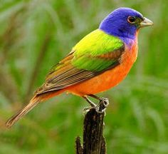 The painted bunting is one of the most rapidly declining songbirds in the eastern United States. Florida breeding and winter season surveys show an astounding 4-6 percent annual decrease in this species' numbers. In some areas, counts have fallen from the hundreds to a mere handful.