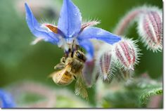 In the garden, the uses of borage include repelling pests such as hornworms, attracting pollinators, and aiding any plants it is interplanted with by increasing resistance to pests and disease. It is also helpful to, and compatible with, most plants — notably tomatoes, strawberries and squash.