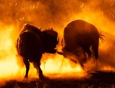 Two buffalo fighting at sunset - Custer State Park, South Dakota Custer State Park, Sad Eyes, Stunning Photography, Historical Images, Le Far West, Silhouette, Adventure Awaits, Wild West, Mother Earth