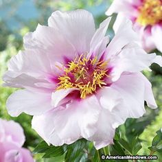 Cora Louise produces up to 50 blooms per season, creating a fragrant and dramatic statement with semi-double white blooms and deep pink centers. (Paeonia Itoh)