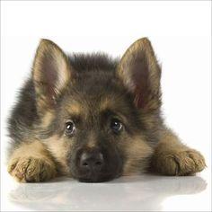 German Shepard!!! Future pet <3