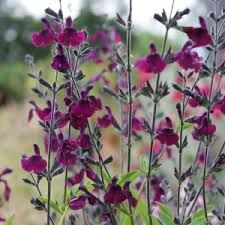 Image result for salvia jamensis nachtvlinder