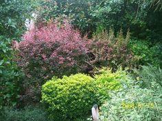 Evônimo do Japão no jardim