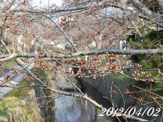 京都 哲学の道 桜 2012/04/02