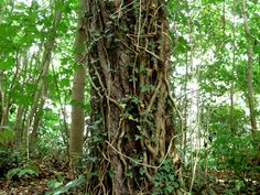 Woody vines are strangling carbon storage in tropical trees, which could cause a huge impact on our planet's ability to naturally fight against global warming. Lianas grow around 25% of species in lowland tropical forests Researchers studied 16 different forest plots in Panama, half with vines and half without The vines decrease the intake of carbon …