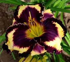Photo of Daylily (Hemerocallis 'Glamoureyez') uploaded by diggit