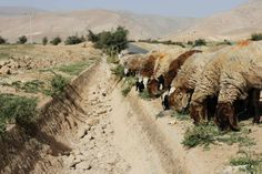 Sheep graze next to a dried out gulley usually flowing with natural spring water in the Palestinian village of al-Auja, near the West Bank city of Jericho March 7, 2014. The Middle East's driest winter in several decades could pose a threat to global food prices, with local crops depleted along with farmers' livelihoods, U.N. experts and climatologists say. Varying degrees of drought are hitting almost two thirds of the limited arable land across Syria, Lebanon, Jordan, the Palestinian ...