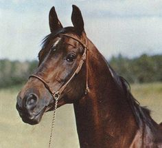 A son of Nazeer, Rashad Ibn Nazeer (Nazeer x Yashmak by Sheikh El Arab) was foaled in Egypt in 1955. He wasn't the most famous of the Nazeer sons in America. But he was the first who arrived in 1958, along with the first Nazeer daughters, Bint Moniet El Nefous and Bint El Bataa (and two El Sareei daughters). It was the first shipment of Egyptian Arabians to come to the USA since 1932. This shipment encouraged many American breeders to go to Egypt and bring back Arabians…